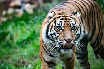 sumatra tiger portrait close up while looking at you