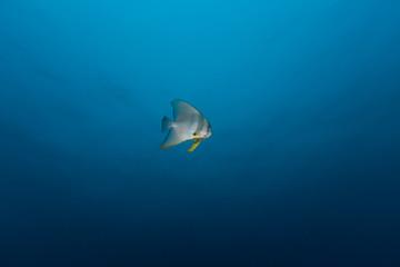 Teira Batfish (Platax teira) in the blue
