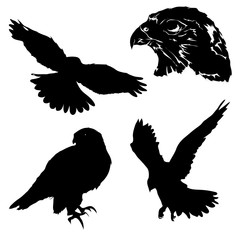 Set of black isolated silhouettes of falcons in different position.