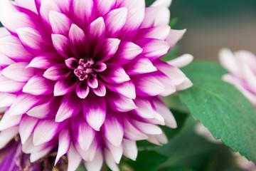 Dahlia Deep Pink