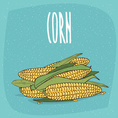 Group of several ripe whole vegetable fruits, corn ears or cobs with leaves. Visible seeds. Isolated background. Realistic hand draw style. Lettering inscription Corn