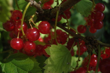red currant macro