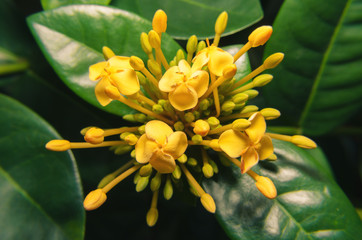 Yellow small flowers surrounded by small yellow buds