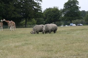 Poster Rhino Southern white rhinoceros 3