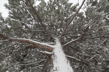 Snow-covered pine tree branch in winter