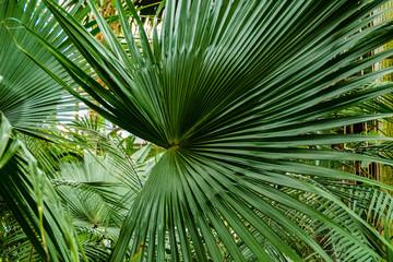 Zielone li艣cie palmy.