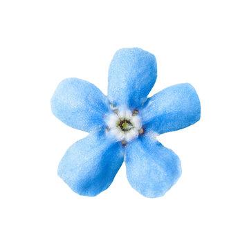 Tender Blue Forget-Me-Not Myosotis Brunnera Boraginaceae Flower Isolated on White
