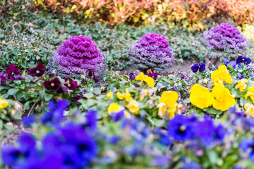 Purple kale plants and pansy flowers in garden