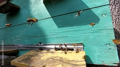 Wall mural Honey bees near a beehive, in flight. Slow motion.