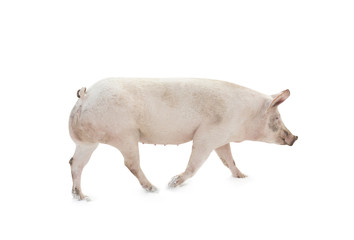 pig animal walking isolated on white