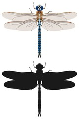 Blue dragonfly and its silhouette, top view. Vector illustration.
