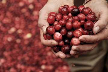 Handful of Dripping Wet Fresh Cranberries