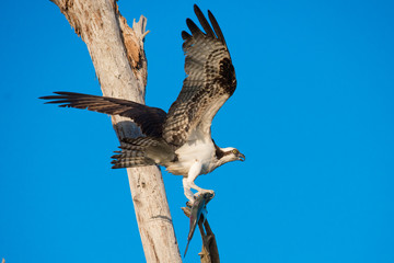 Osprey Raptor with Fish in Claws