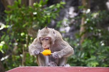 A monkey eating ice cream for reduce heat weather