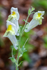 Antirrhinum graniticum. Flores de Boca de Dragón.