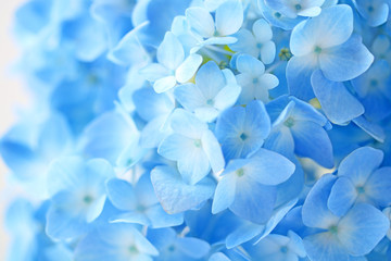 Beautiful blue hydrangea flowers background