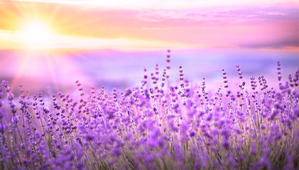 Sunset sky over a violet lavender field in Provence, France. Lavender bushes closeup on evening...