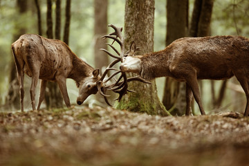 Photo sur Toile Cerf cerf brame combat forêt mammifère roi bois bois sauvage animal