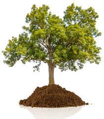arbre sur motte de terre, fond blanc
