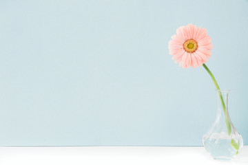 pink flowers in vase on table on blue background. space for text