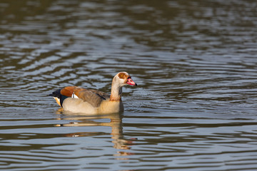 one egyptian nile goose (alopochen aegyptiaca) swimming in water