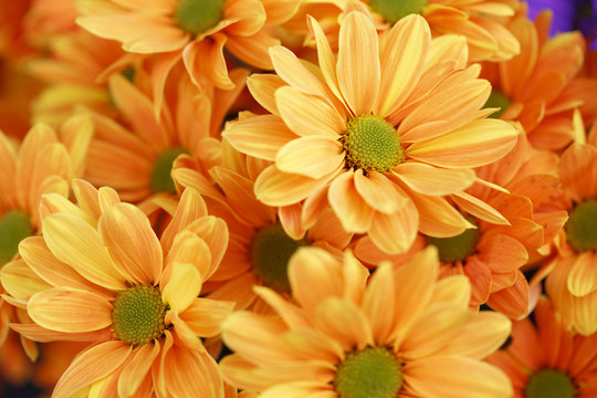 Orange marigold flowers in spring, Colorful photo of orange marigold flowers with green background, Selective focus with very shallow depth of field