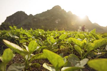 Fotoväggar - Grüne Pflanzen auf einem Feld