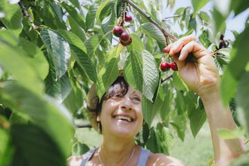 Happy senior woman picking cherries