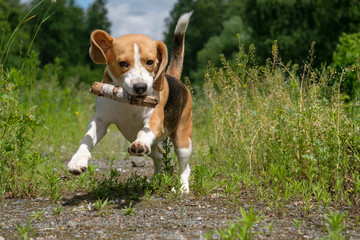 Beagle on a walk in a summer forest playing with a stick