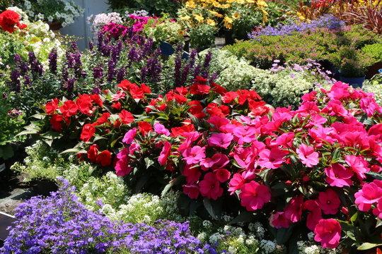 Nursery, Sommerblumen in der Gärtnerei