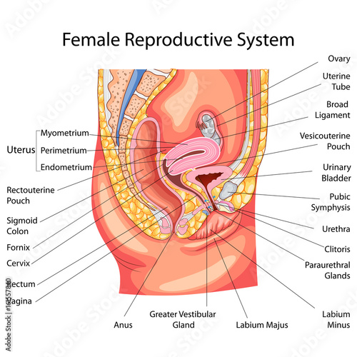 Education Chart Of Biology For Female Reproductive System Diagram