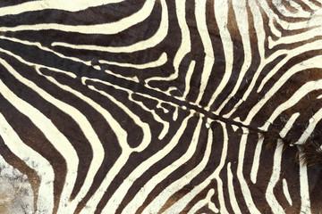 texture of zebra old pelt