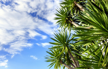 palm tree with blue sky. over light in the background