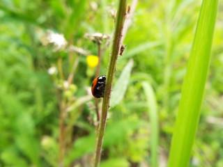 ナナホシテントウ ladybug