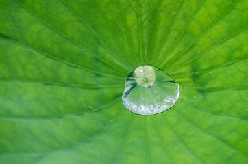 Water drop on lotus leaf macro closeup