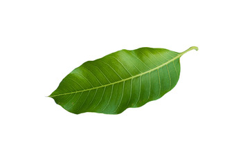 Mango leaf on isolate white background. with clipping path