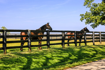 "Horses enjoying the summer sunshine at farms around Versailles nr Lexington, KY, the State known as the ""Horse Capital of the World""."
