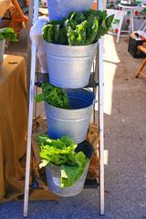 Romain lettuce in a tin bucket at the farmers market in Punta Gorda, FL
