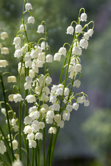 Convallaria majalis toxic beautiful forest ornamental flowers in bloom with leaves