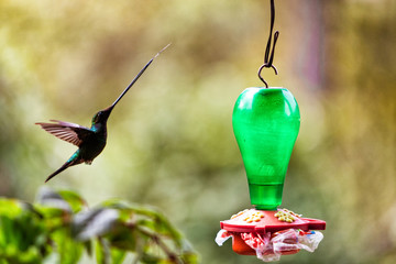 A long billed hummingbird with tongue outstretched flying in to feed in Tolima, Colombia.