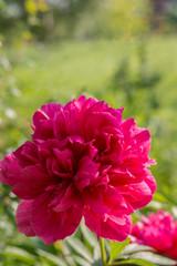 Pink peony in garden