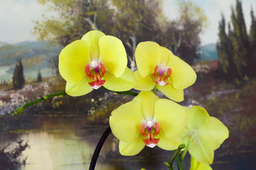 Orchid flower with picture behind, phalaenopsis cascade
