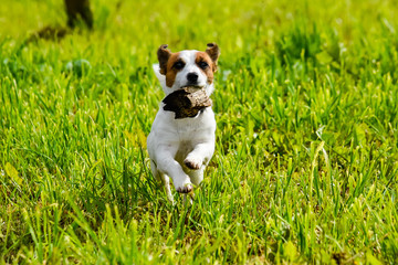 The running dog the Jack Russell Terrier across the field with a green grass, ears up, in teeth a log close up