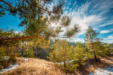 Sun Shining Through Pine Branch In Autumn Forest. Pine Tree Needles
