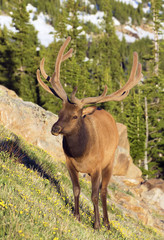 Bull Elk in Rocky Mountains National Park, Colorado