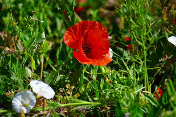 Wall Mural - Bright red poppies on a background of grass