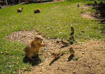 Small plump marmot and sparrows walking on the lawn