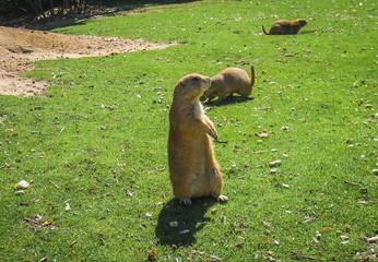 Little plump marmots walking on the lawn