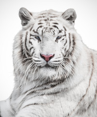 Wall Mural - Majestic white tiger