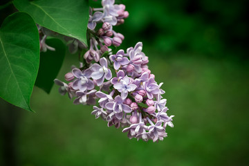 Lilac on a green leaf background